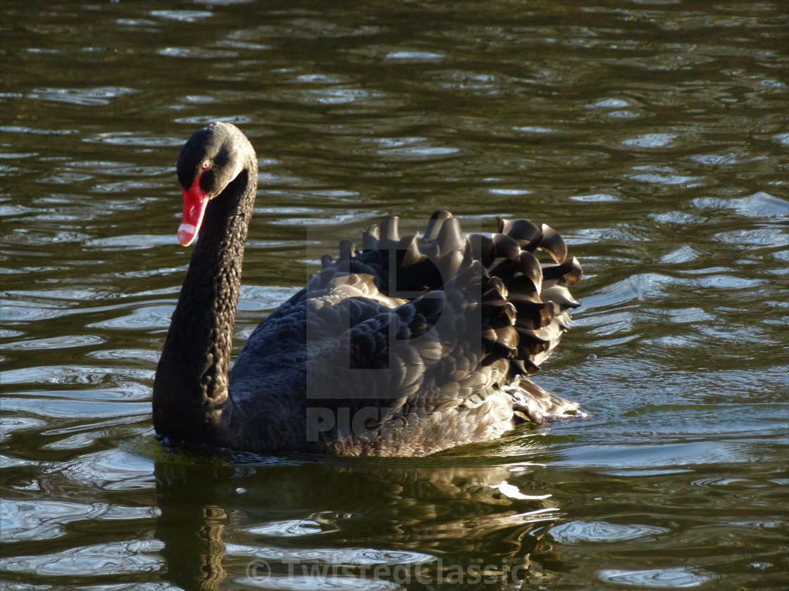 black swan download