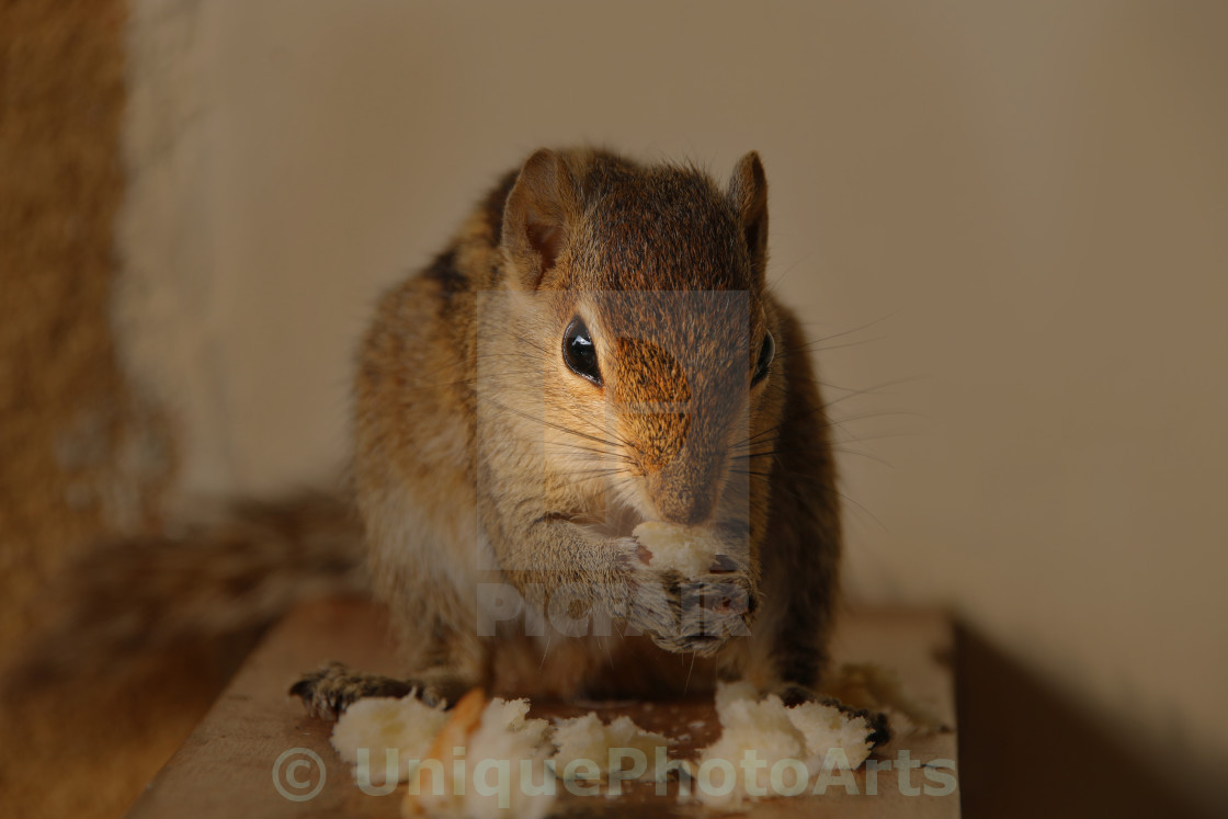 """Indian Palm Squirrel"" stock image"