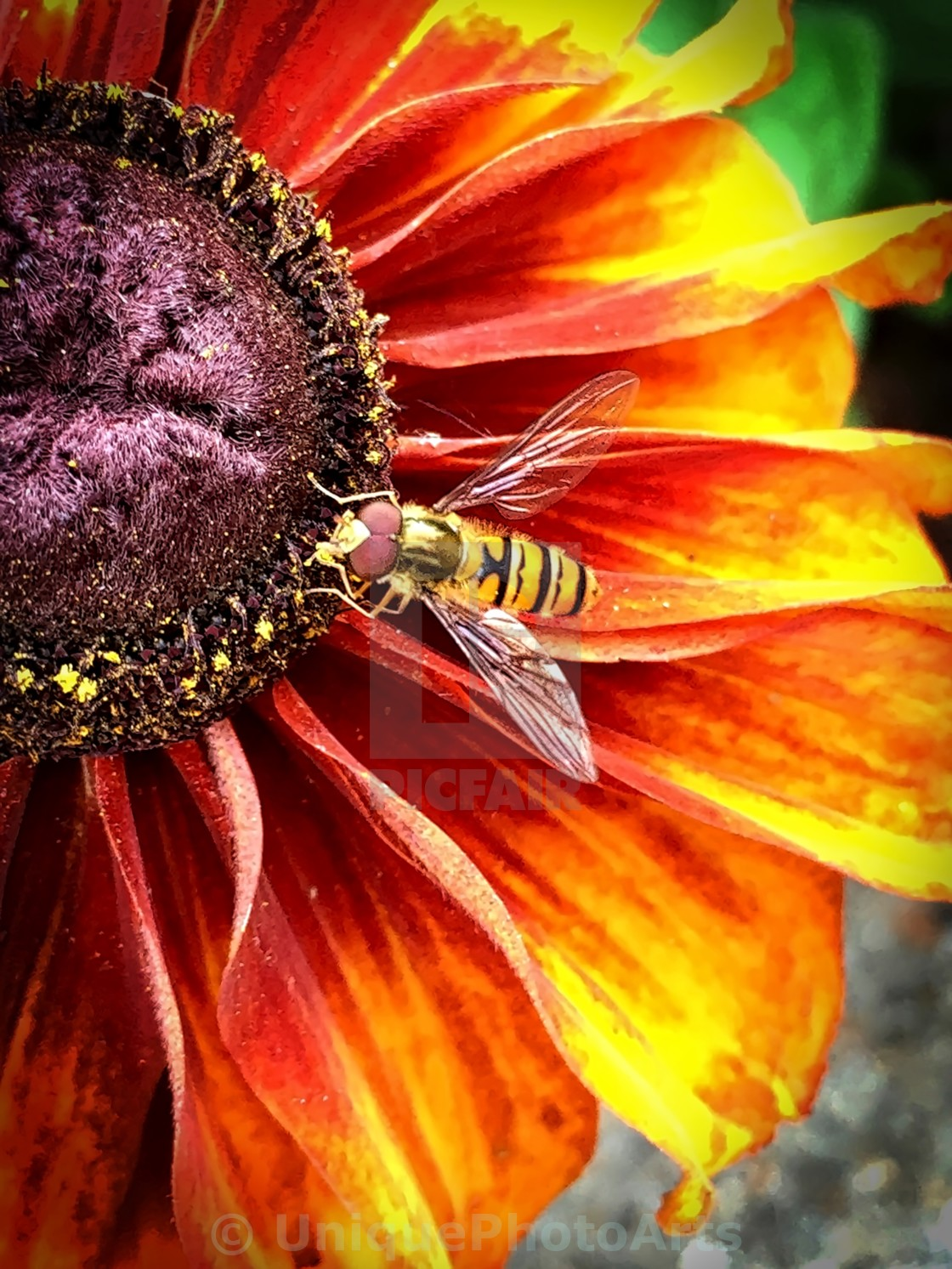 """Hoverfly on a vibrant flower"" stock image"