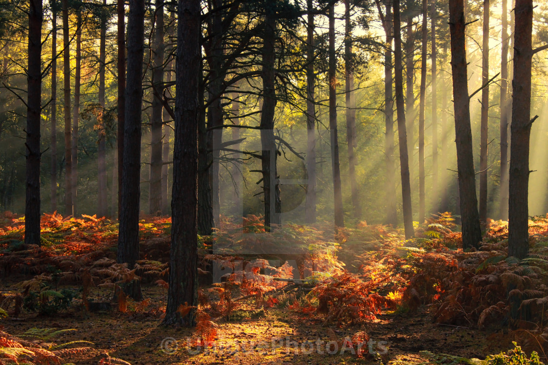 """Berkshire forest in the golden hour"" stock image"