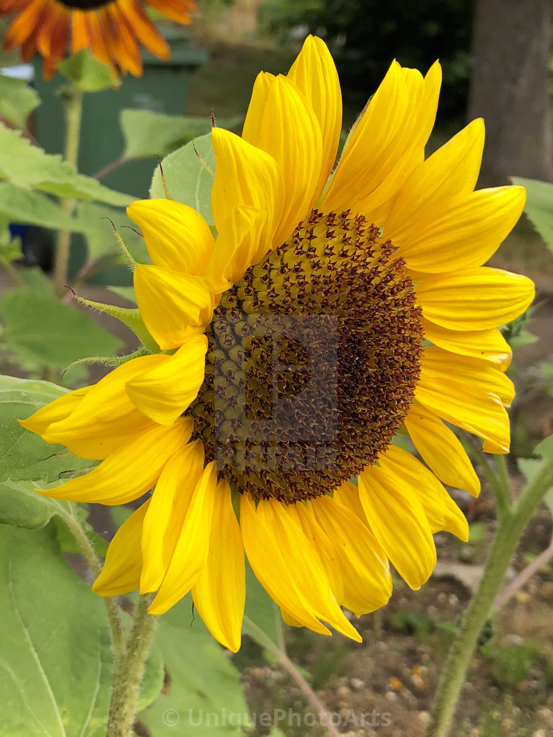 Common Sunflower - License, download or print for £12 40