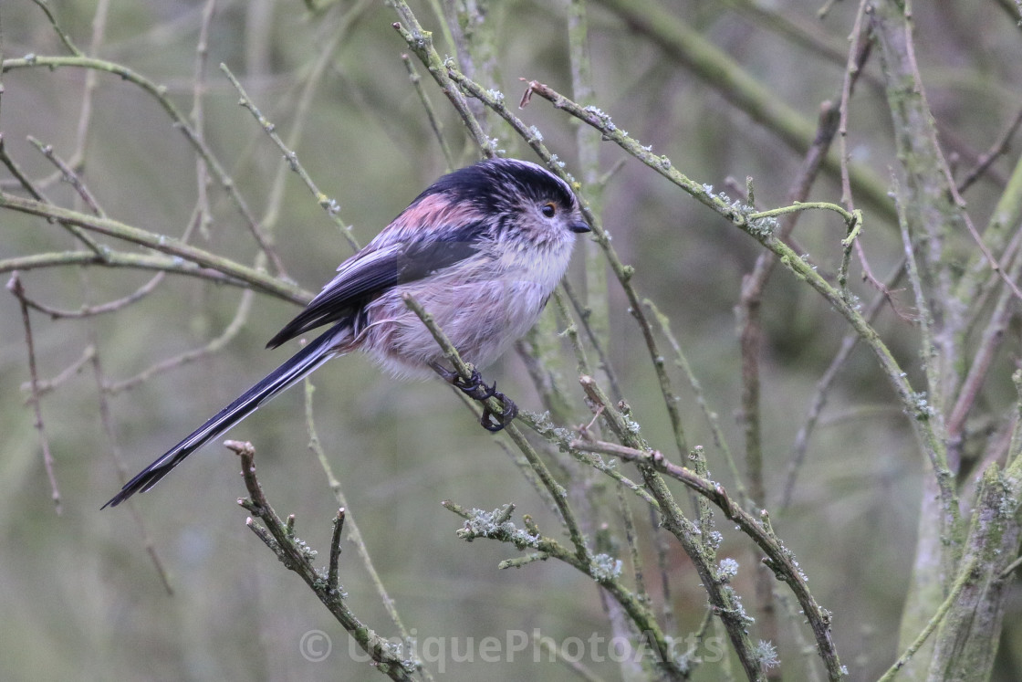 """Long Tailed Tit"" stock image"