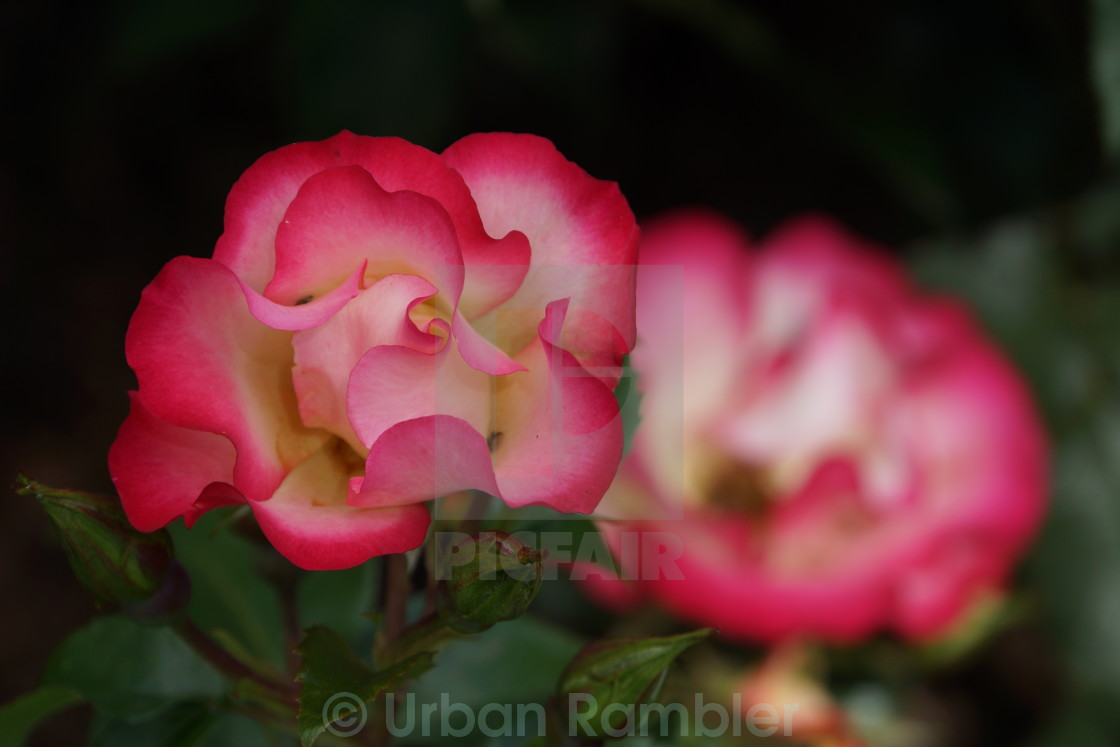 """Roses at Blenheim"" stock image"
