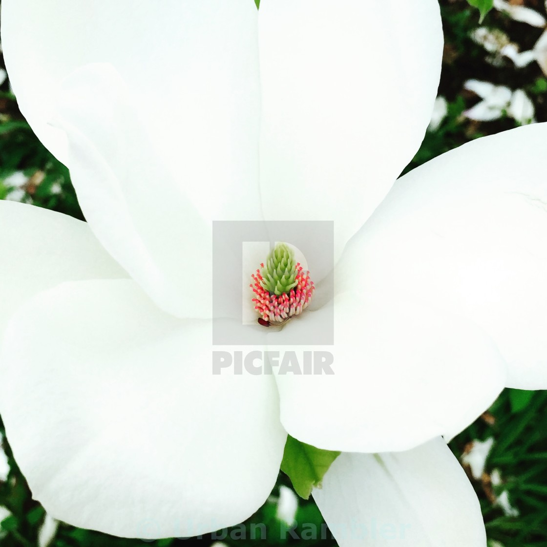 """May's Magnolia"" stock image"