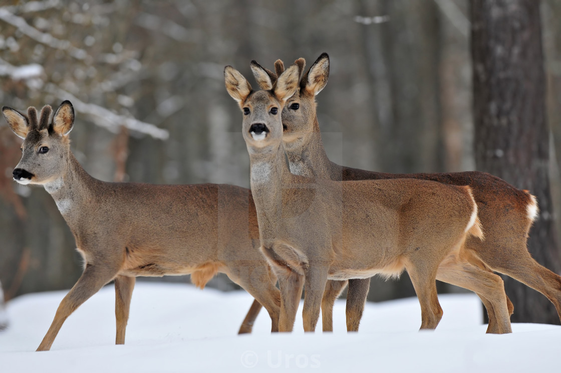 """Roe deer in winter"" stock image"