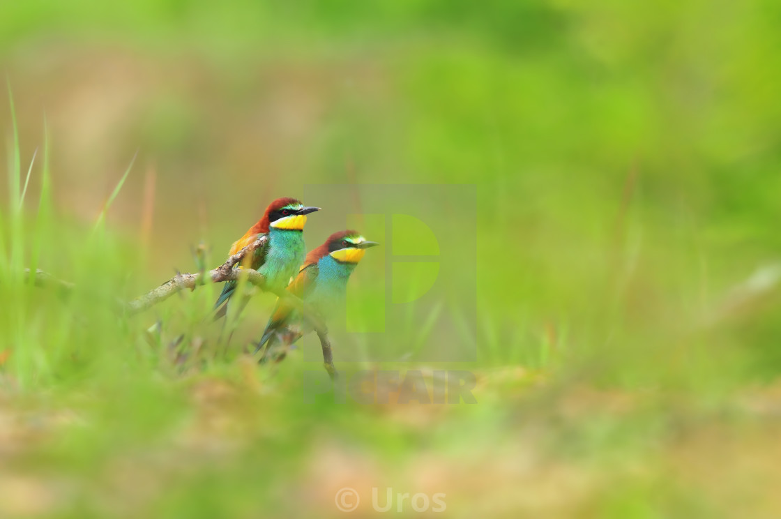 """""""Bee eaters"""" stock image"""