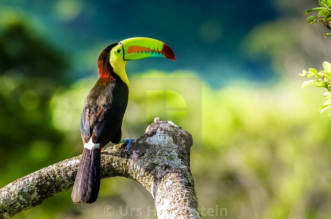 """Keel billed Toucan"" stock image"