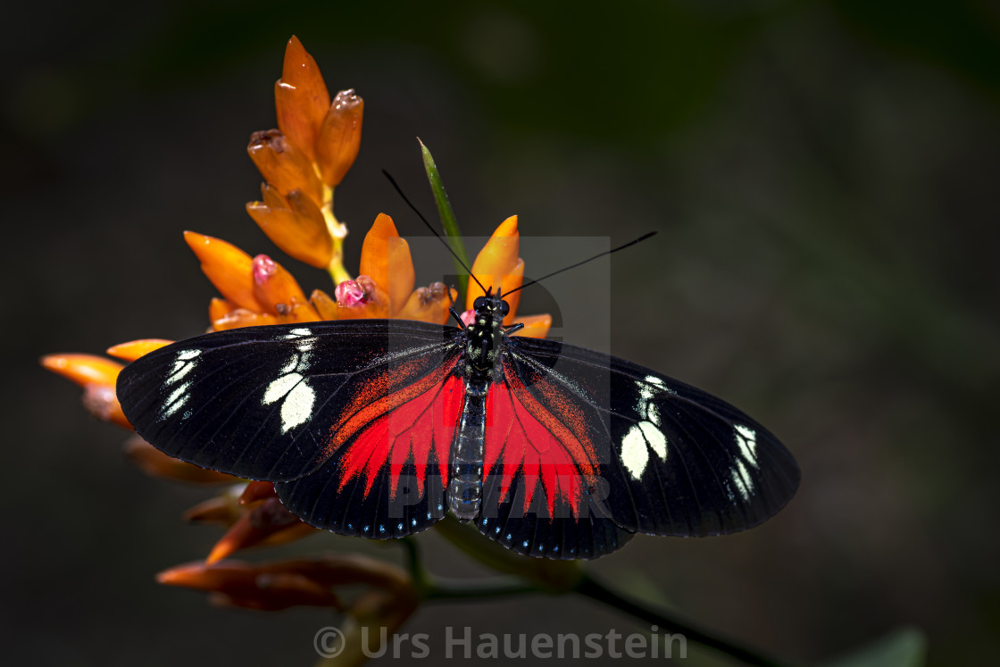 """Doris Longwing Butterfly Red"" stock image"