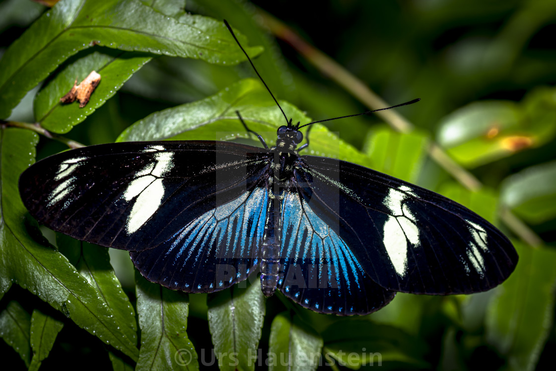"""Doris Longwing Butterfly Blue"" stock image"