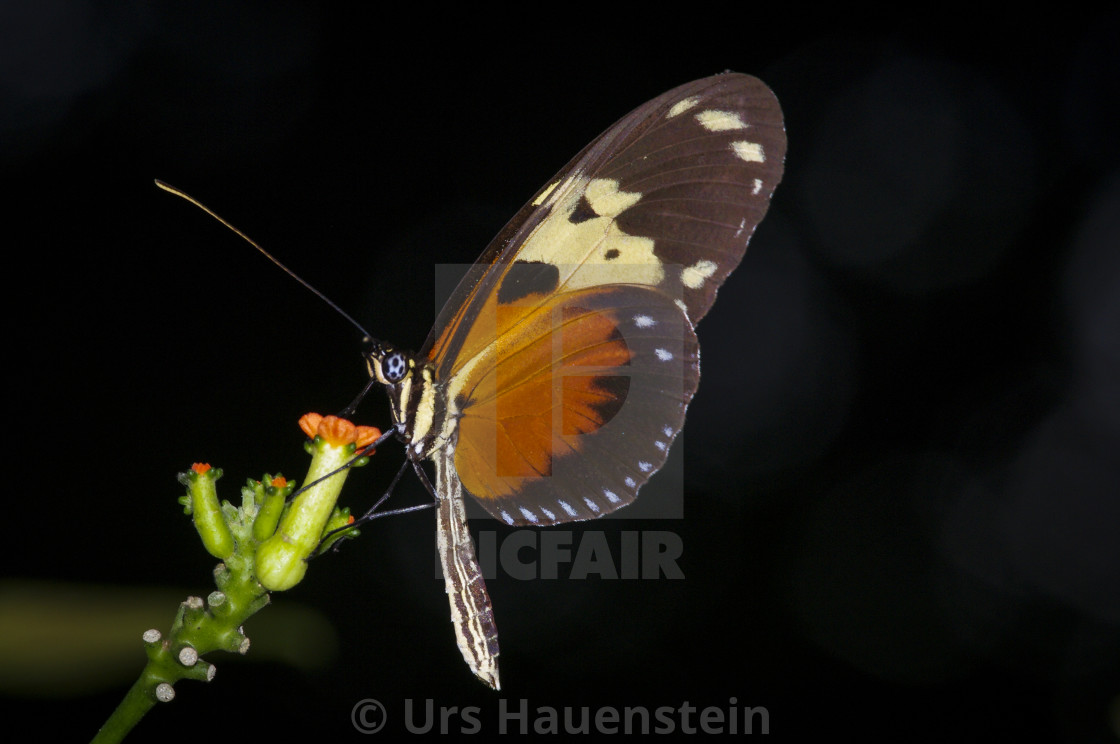 """Heliconius Butterfly on a flower"" stock image"