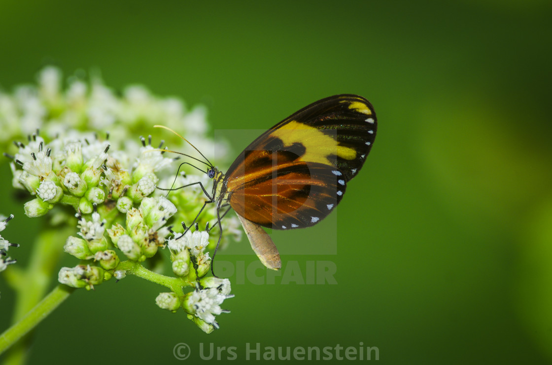 """Heliconius Butterfly on a bush"" stock image"