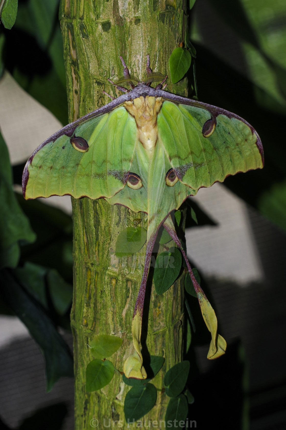 """African moon moth"" stock image"