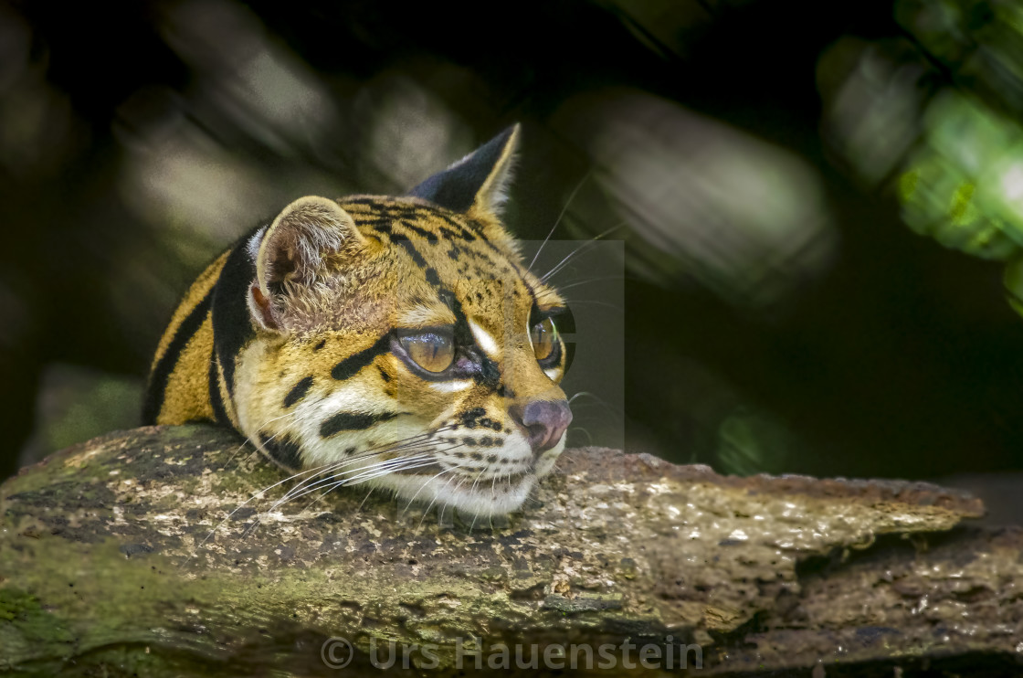 """Ocelot head looking over a tree branch"" stock image"