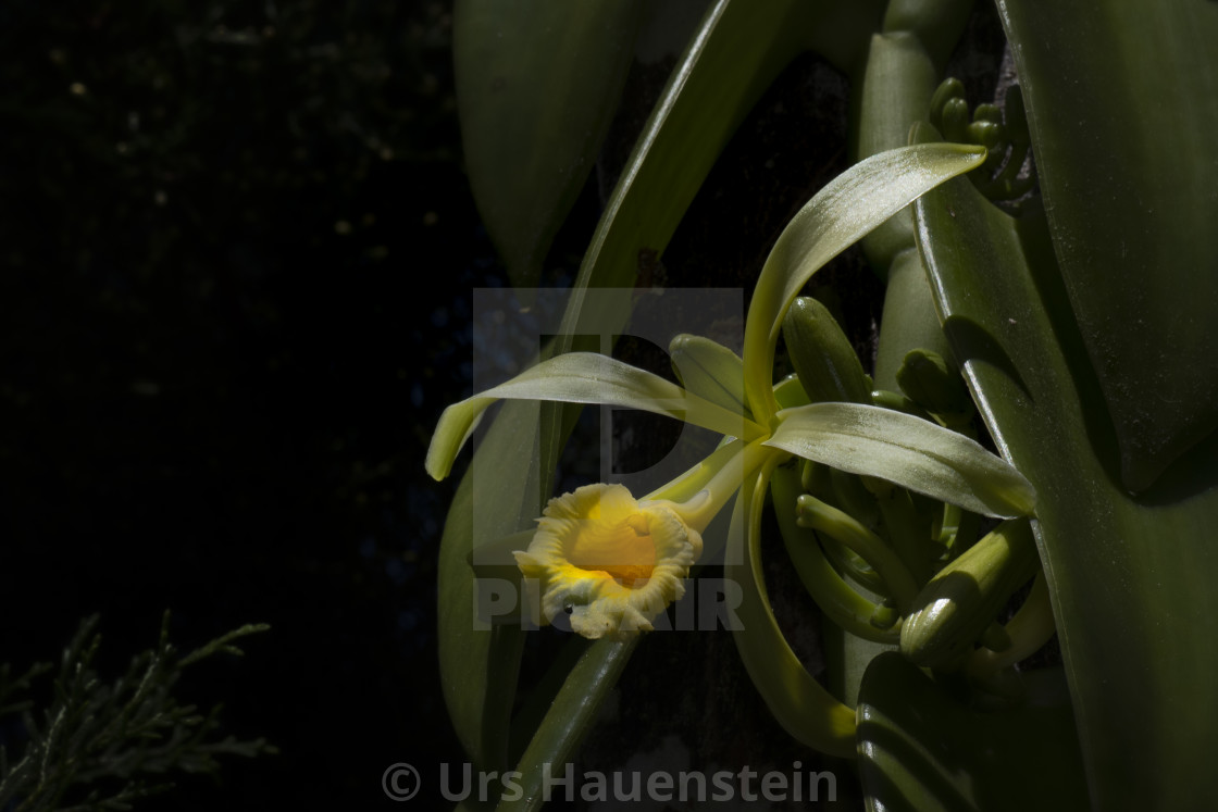 """Yellow vanilla orchid flower"" stock image"