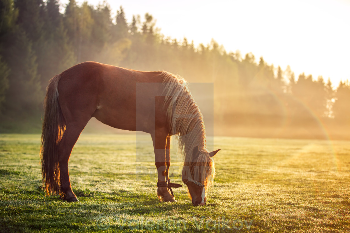 """Horse grazing on a green field at sunrise, landscape"" stock image"