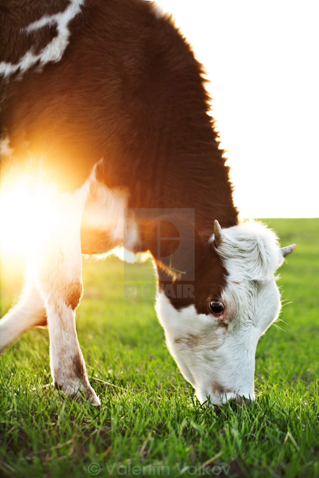 """Cow grazing in fresh pastures"" stock image"