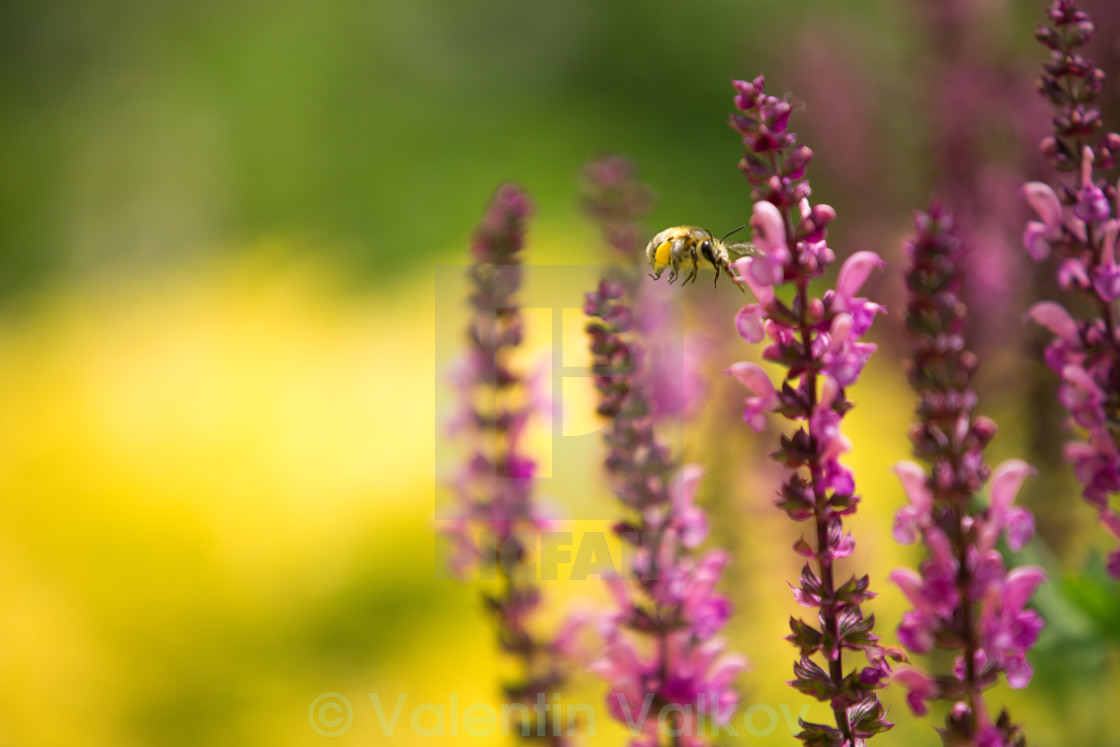 """Lavender and bee , defocused background"" stock image"