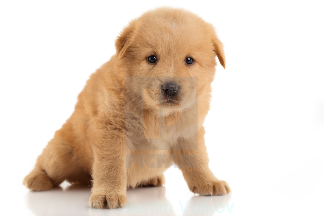 Brown Chow Chow Puppy Portrait On White Background License For