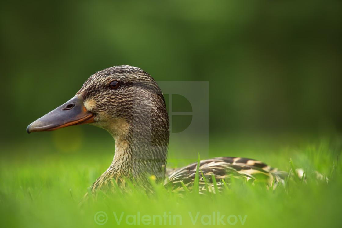 """European ducks on a grass"" stock image"