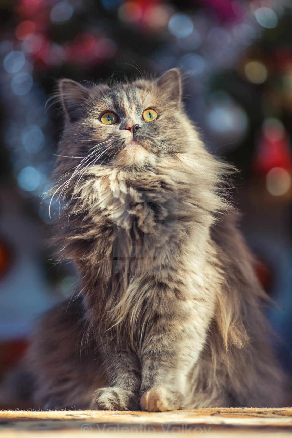 cute fluffy cat in front of the christmas tree winter holidays