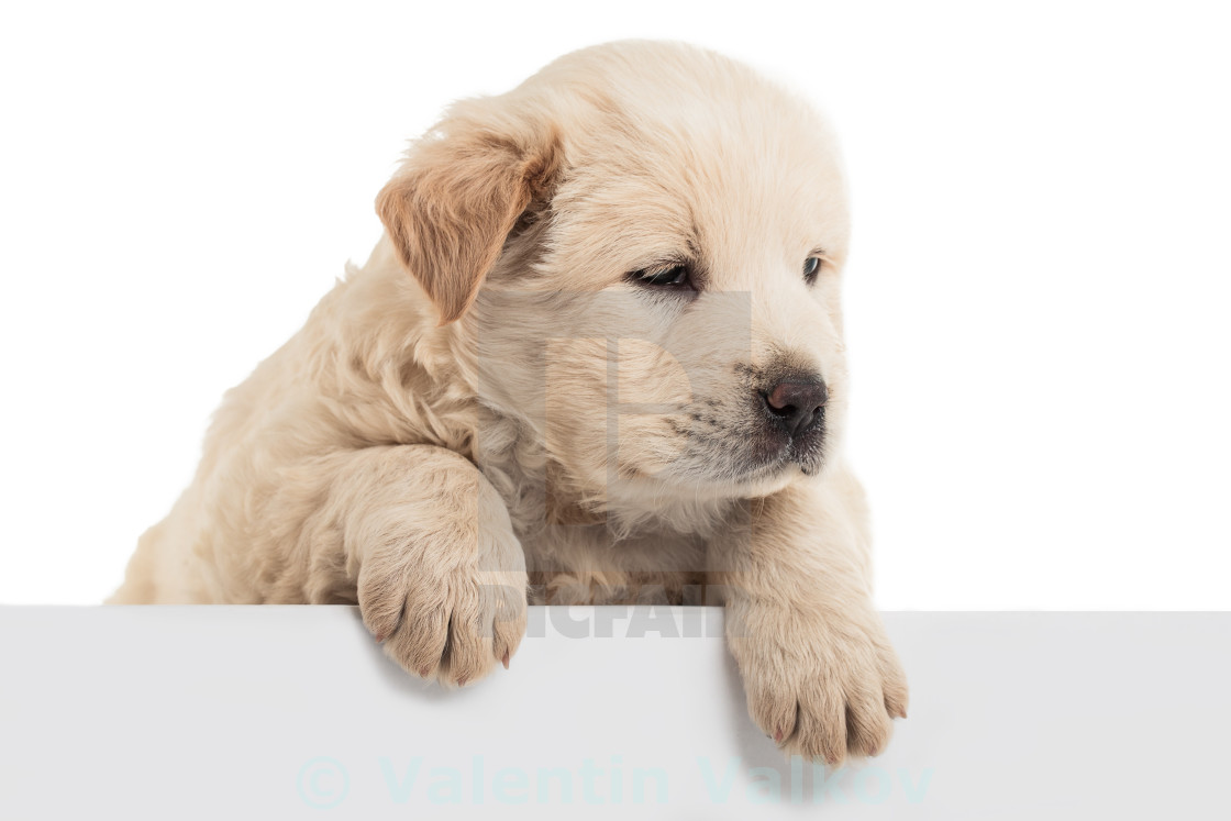 Fluffy Chow-chow puppy - License, download or print for
