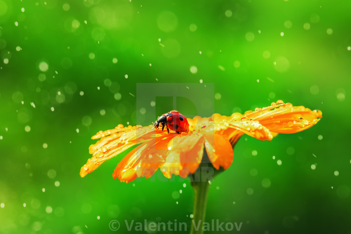 """Ladybug on daisy flower and water drops, abstract background"" stock image"