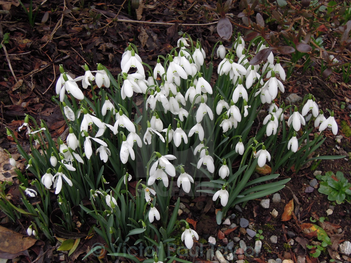 """February Snowdrops"" stock image"