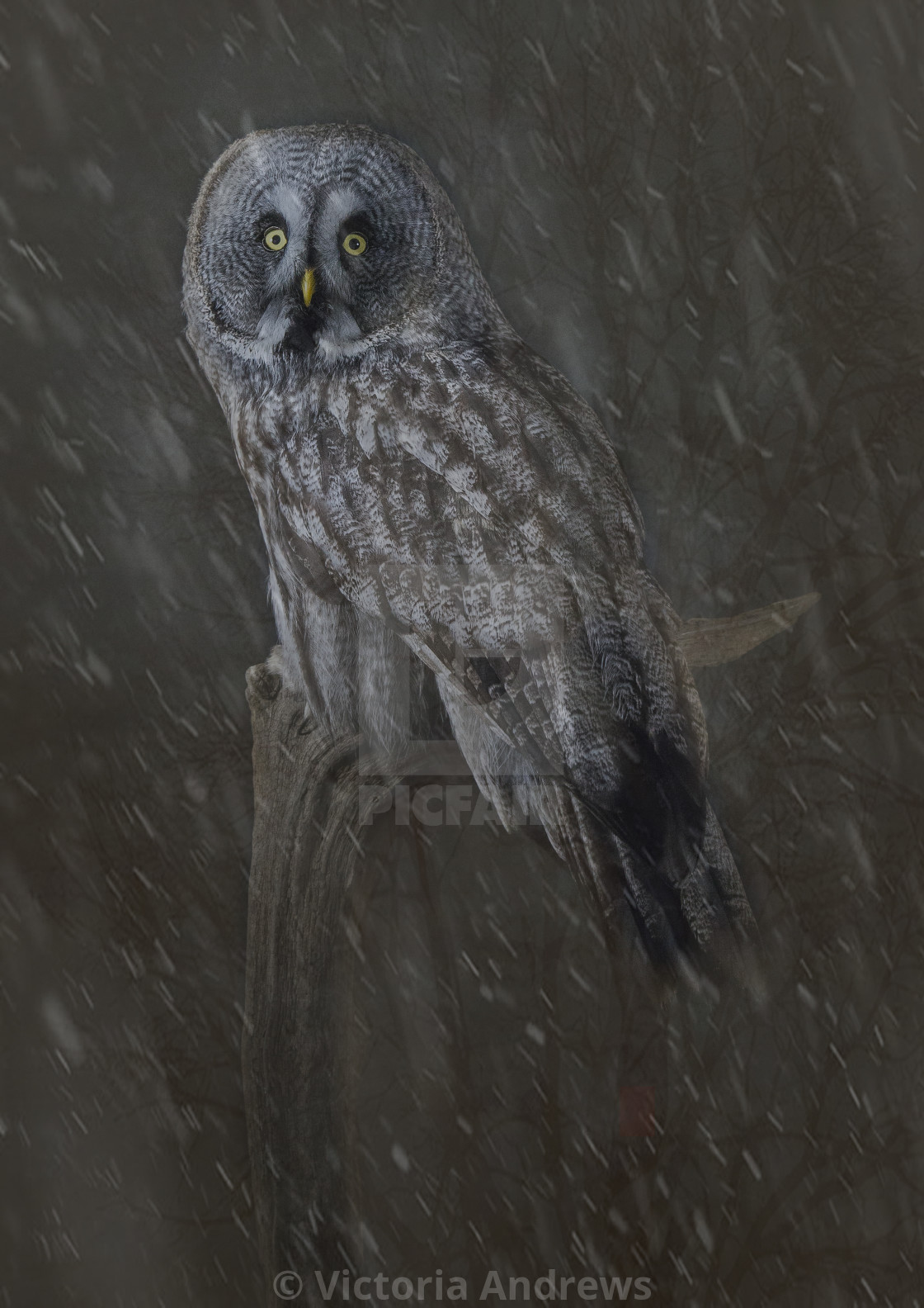 """Great Grey Owl in Snow"" stock image"