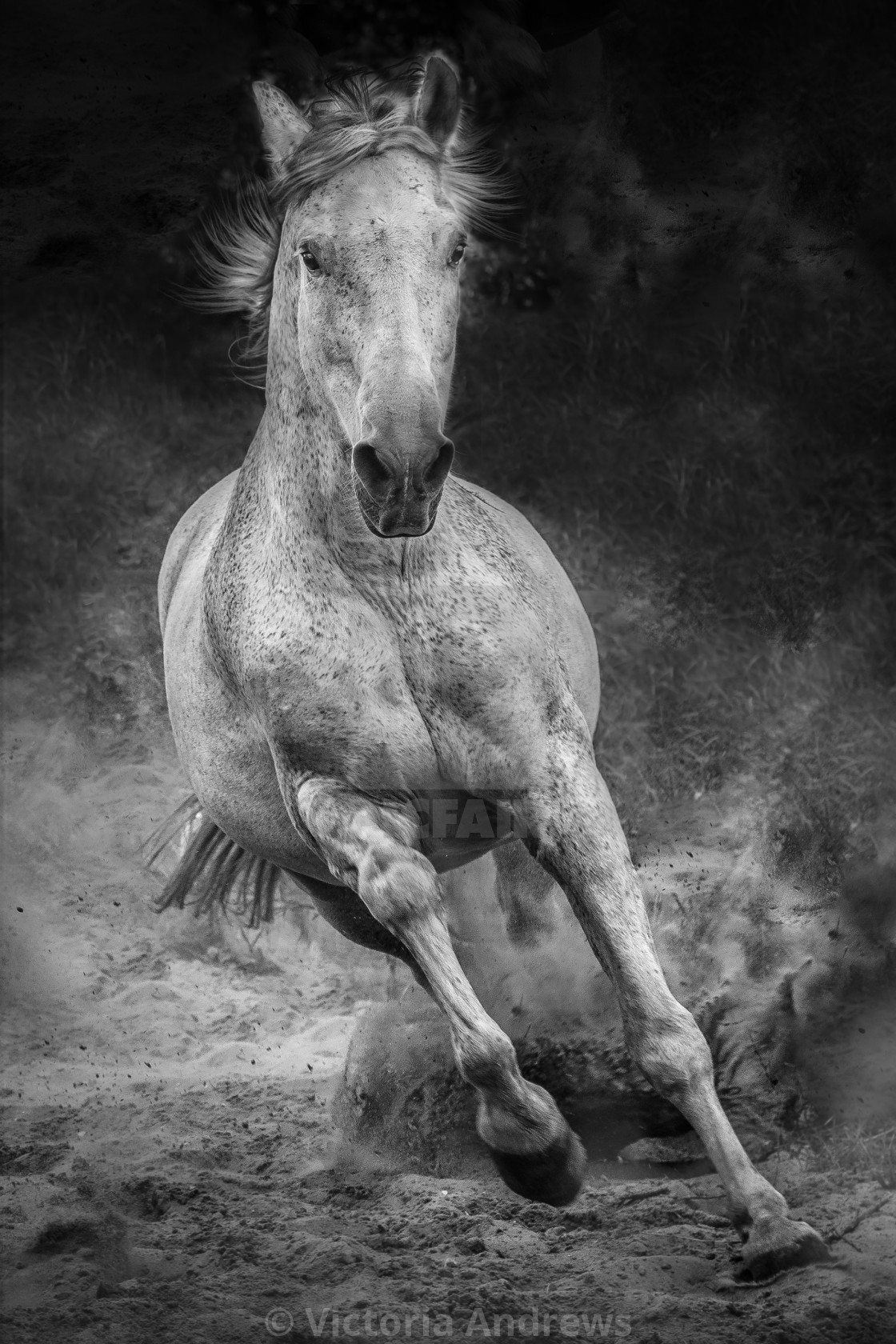"""Galloping Andalusian Stallion"" stock image"