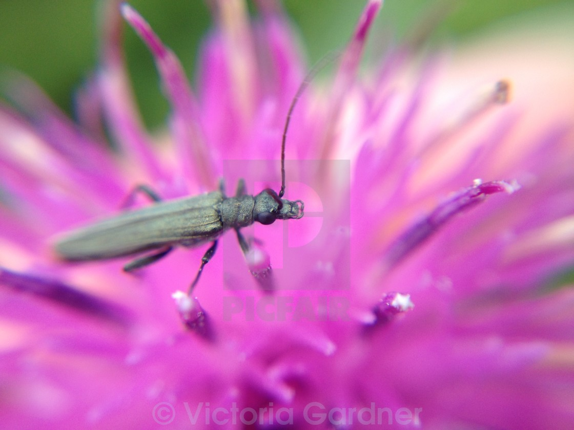 """Beetle on a thistle"" stock image"