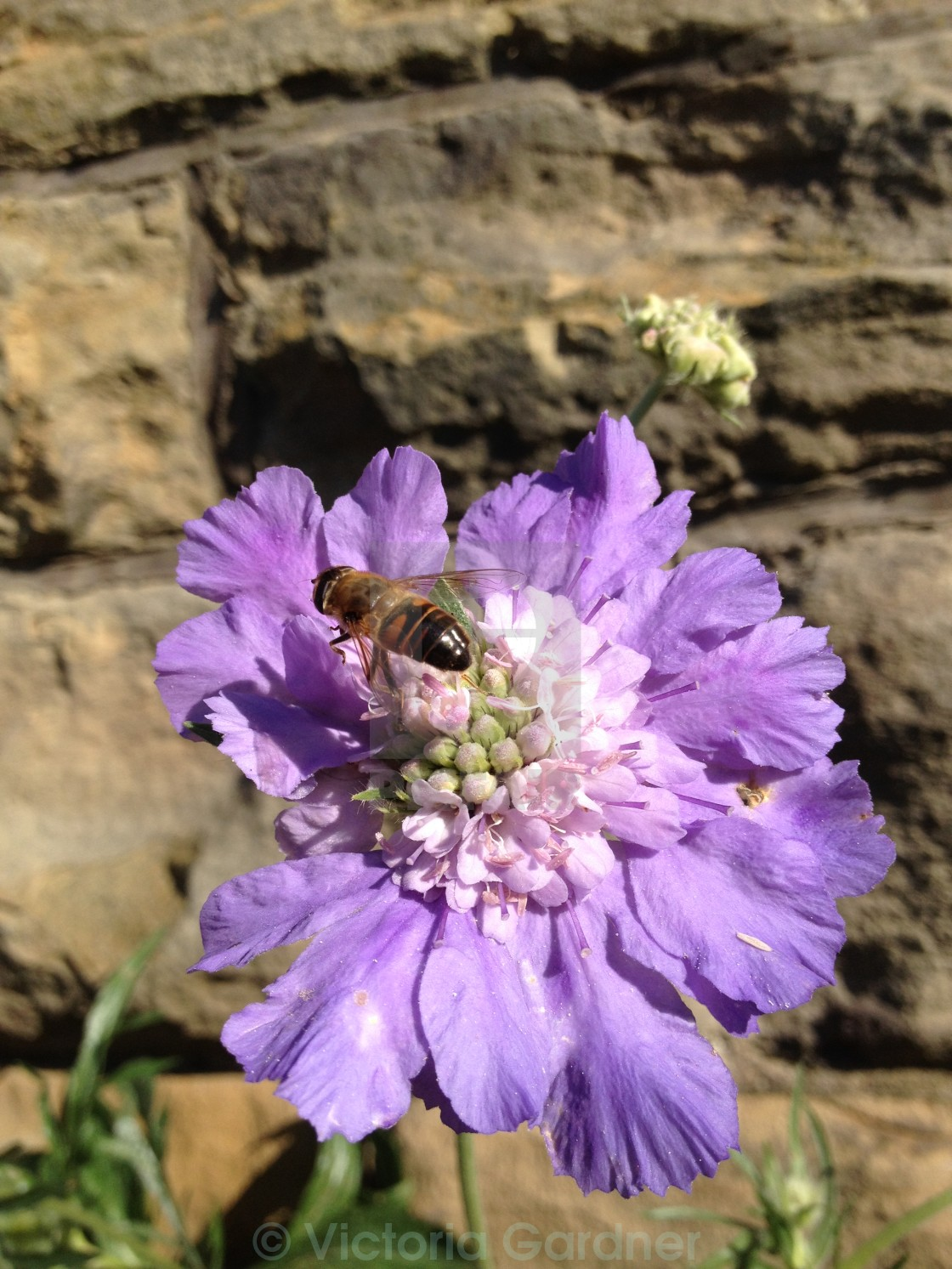 """Bee pollinating a scabious flower"" stock image"