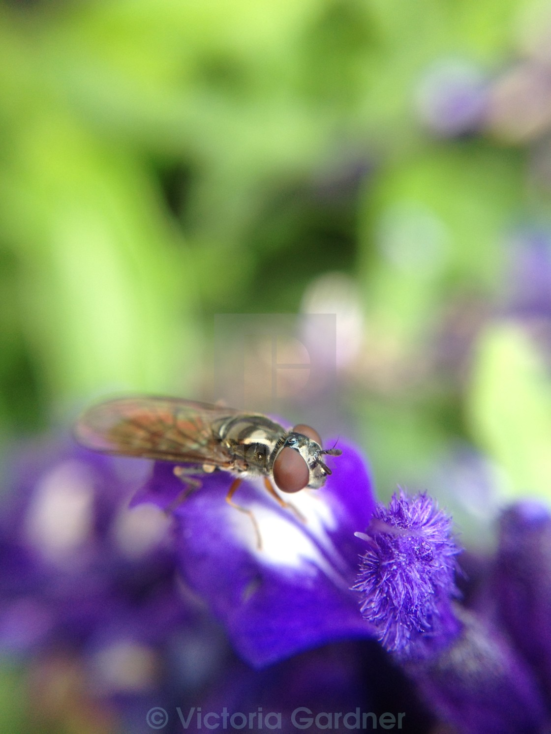 """Hover fly pollinating a flower"" stock image"