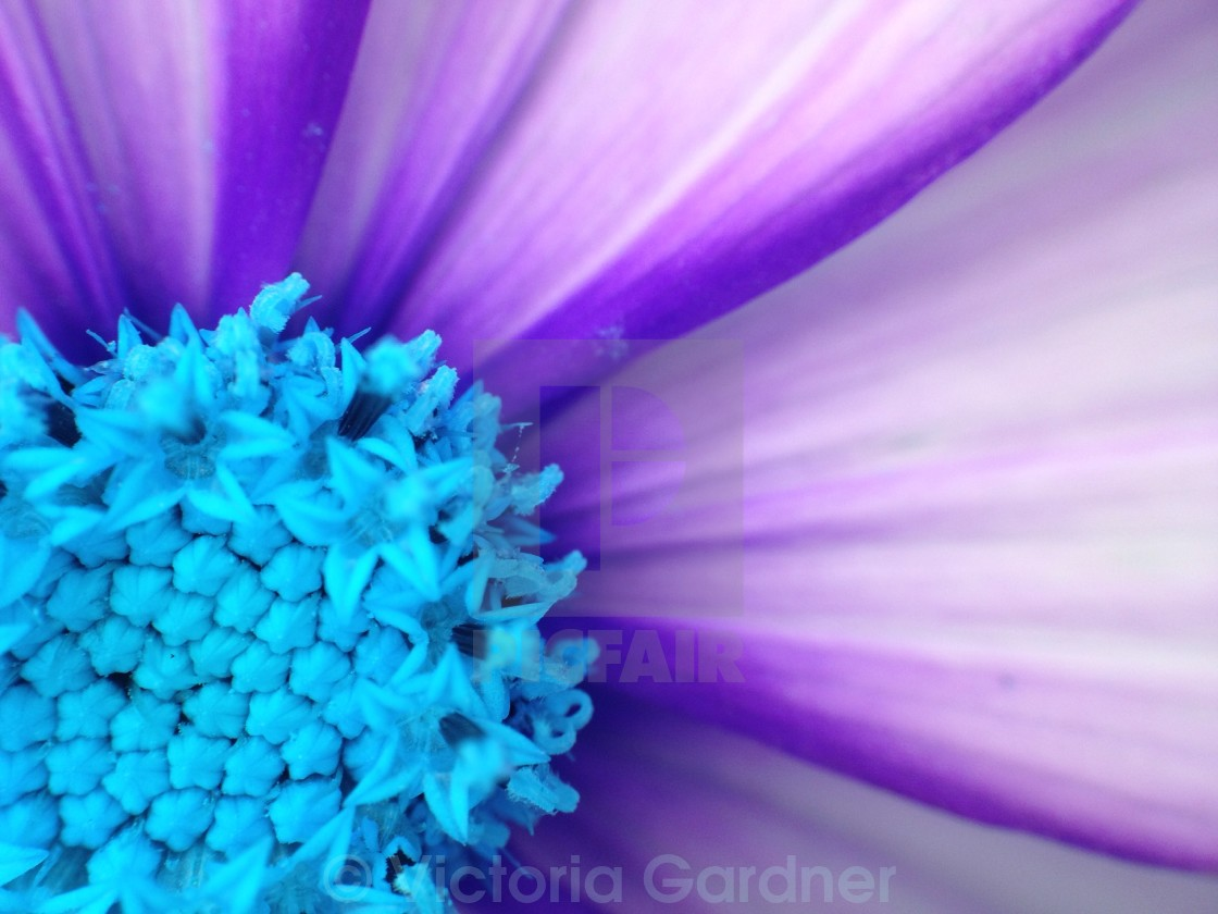 """""""Colour change on a cosmos flower"""" stock image"""