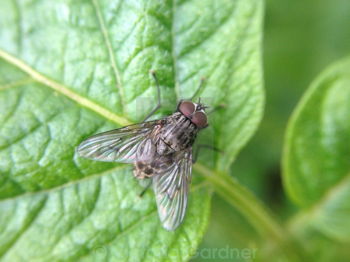 """Common fly"" stock image"