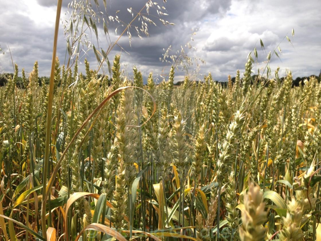"""field of wheat"" stock image"