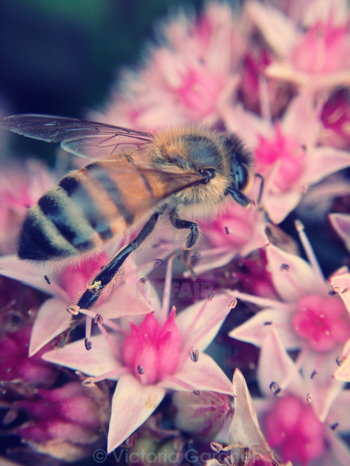 """Bee pollinating flowers"" stock image"