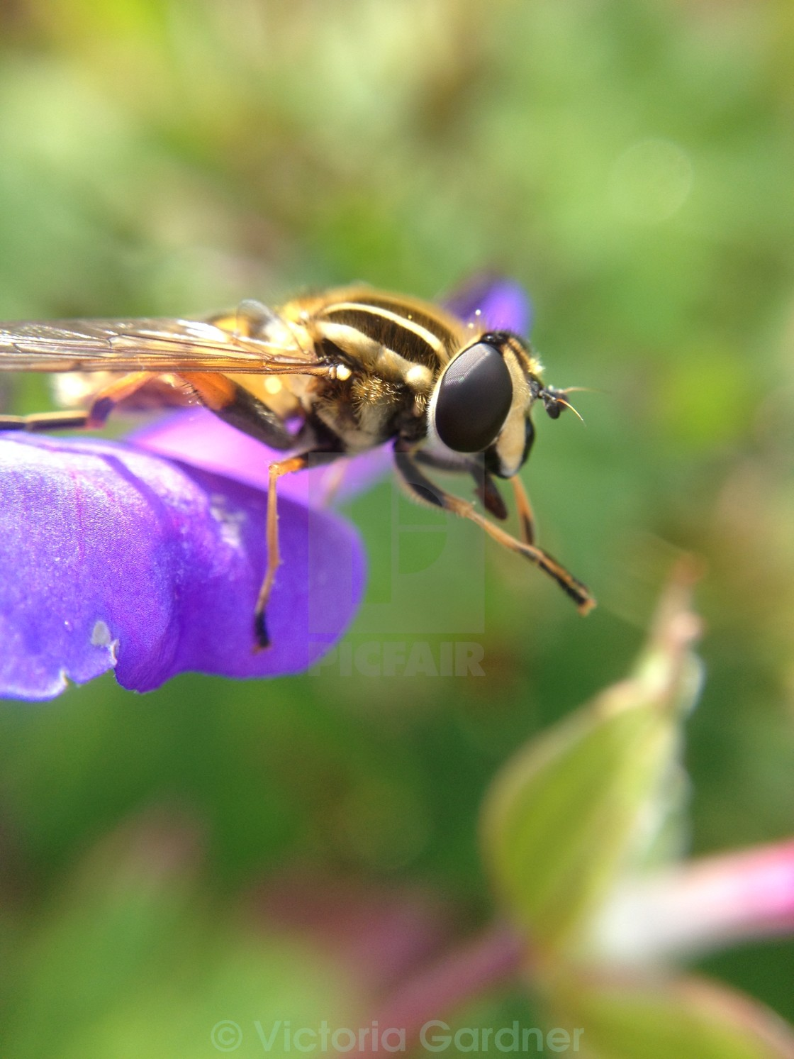 """Hoverfly washing"" stock image"