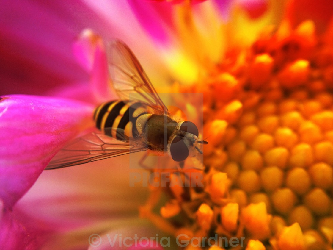 """""""Hoverfly pollinating a cosmos flower"""" stock image"""