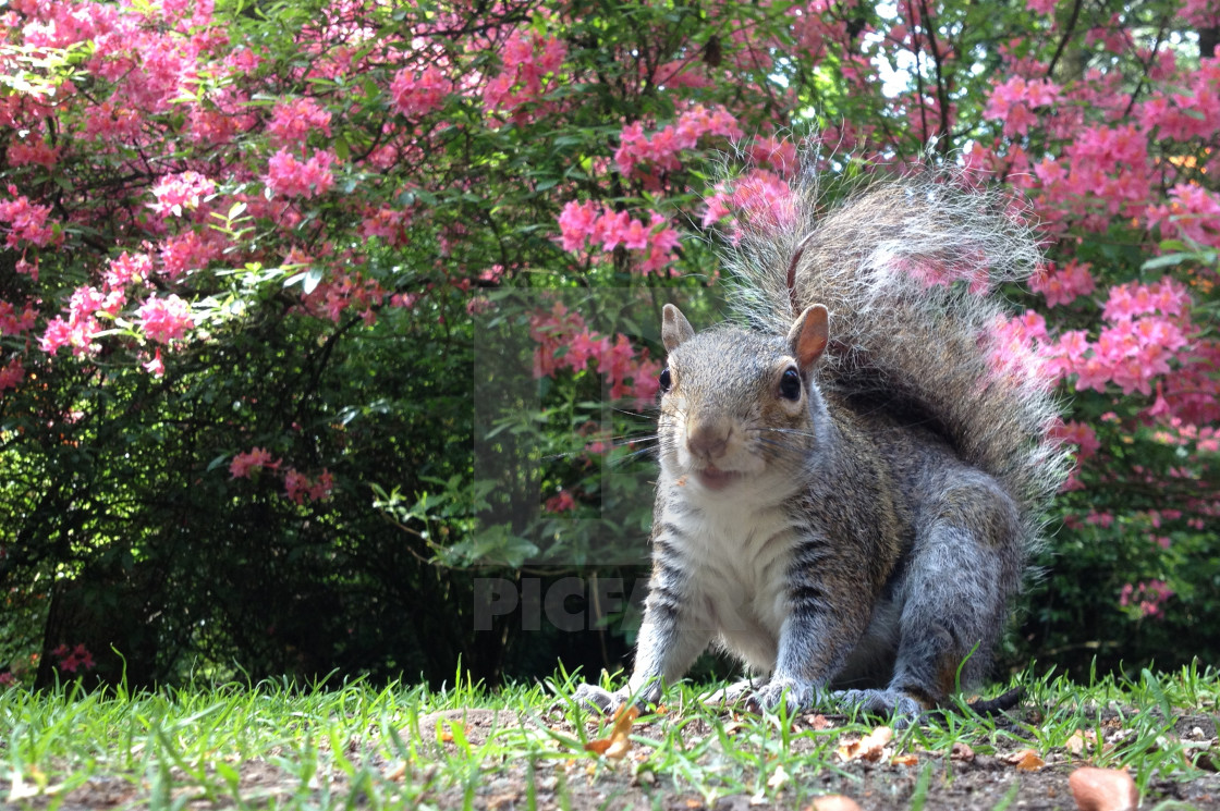 Squirrel near rhododendron flowers