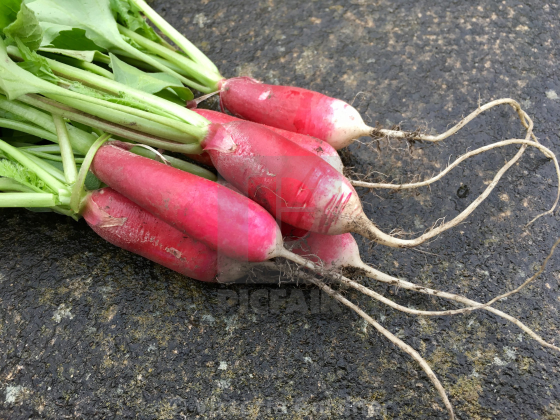 """Home grown radish"" stock image"