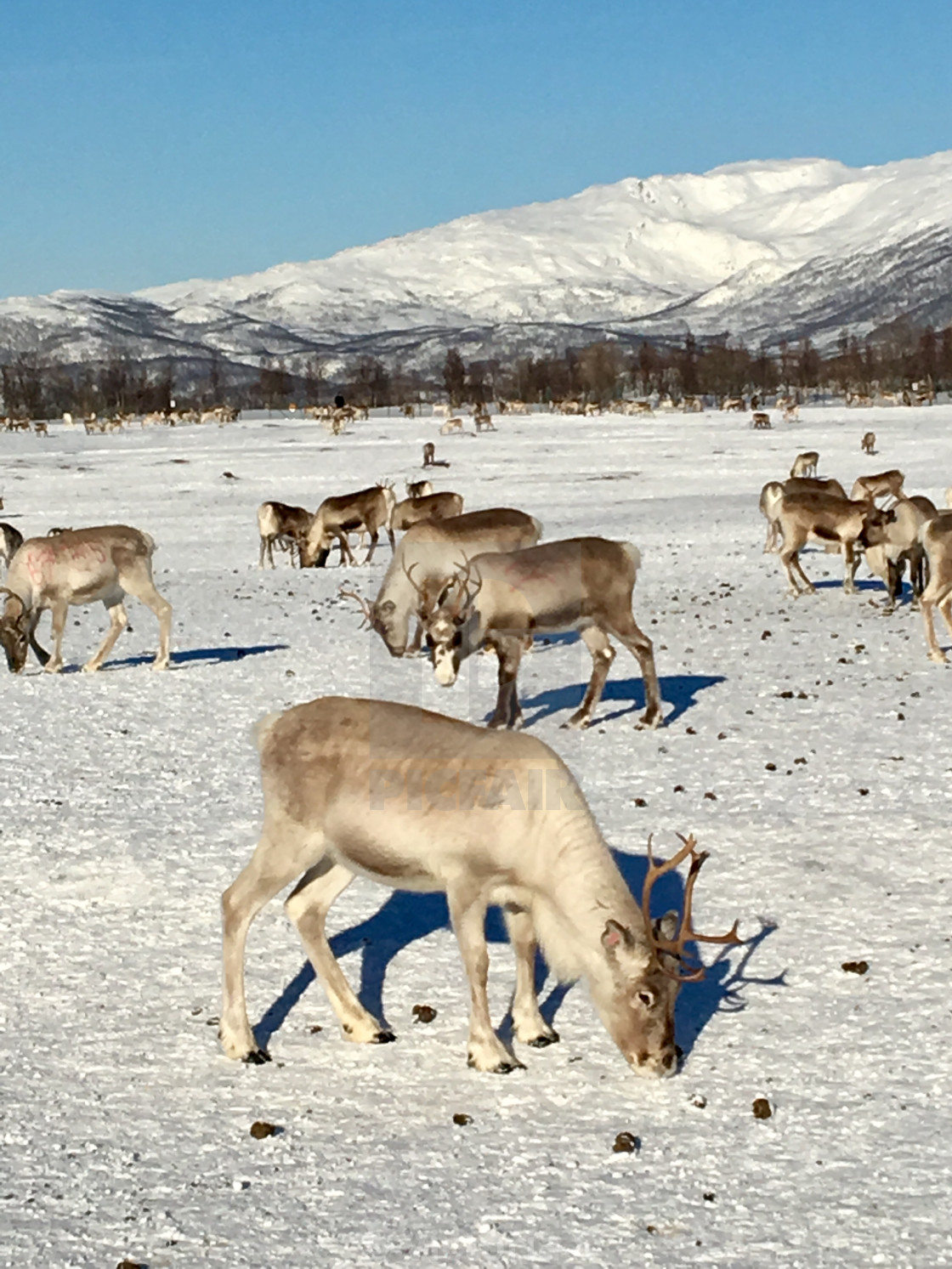 """Reindeer grazing in Tromso, Norway"" stock image"