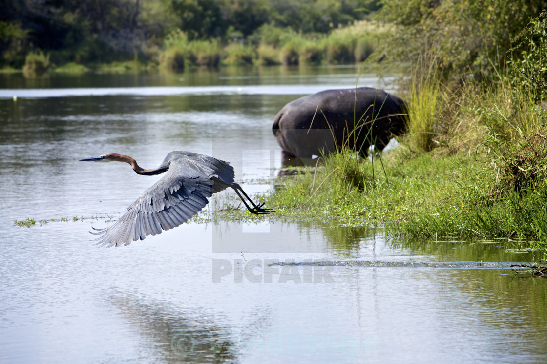 """Goliath Heron"" stock image"