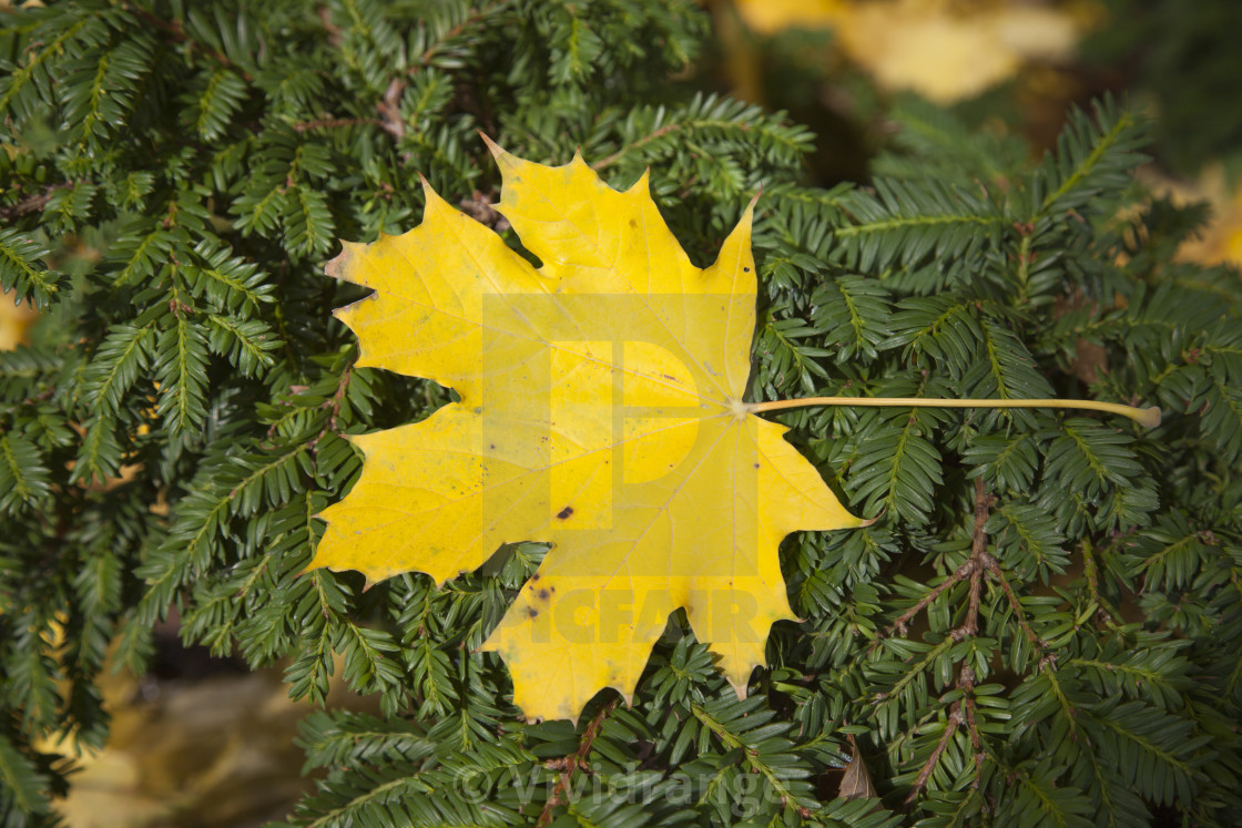 """Fall season, yellow leaf"" stock image"