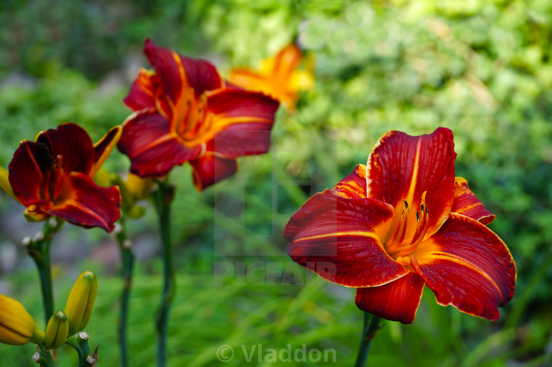 Liliales. here the flower of the unusual, deep color of flowers ...