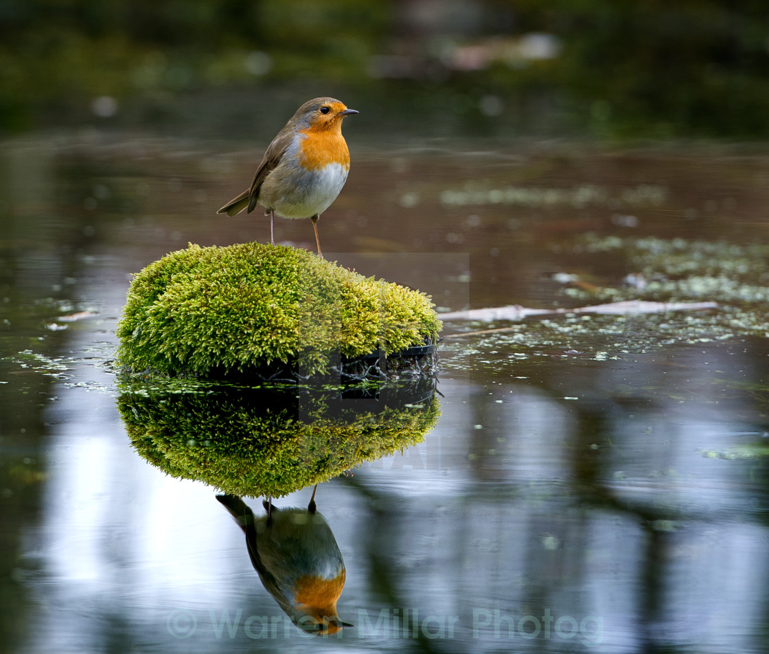 """Robin and water"" stock image"