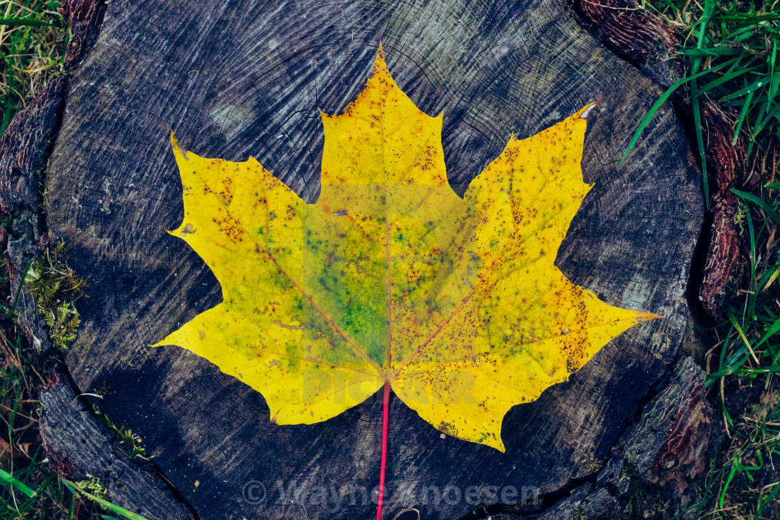 """Yellow leaf Autumn"" stock image"