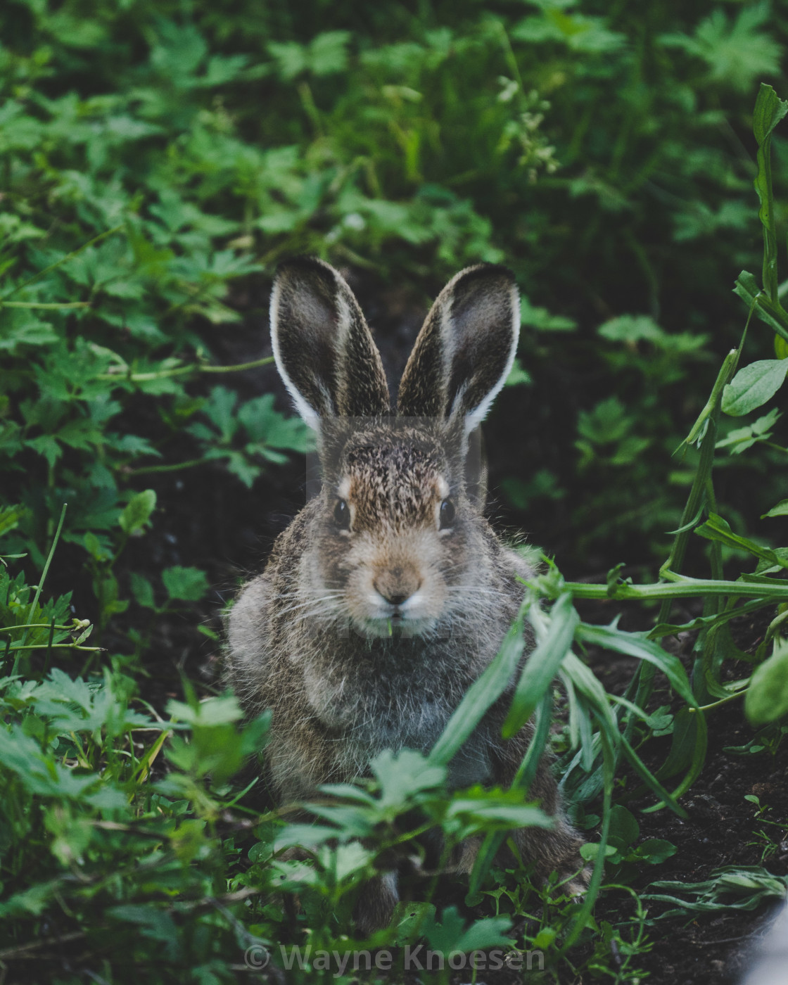 """Hare in the garden"" stock image"