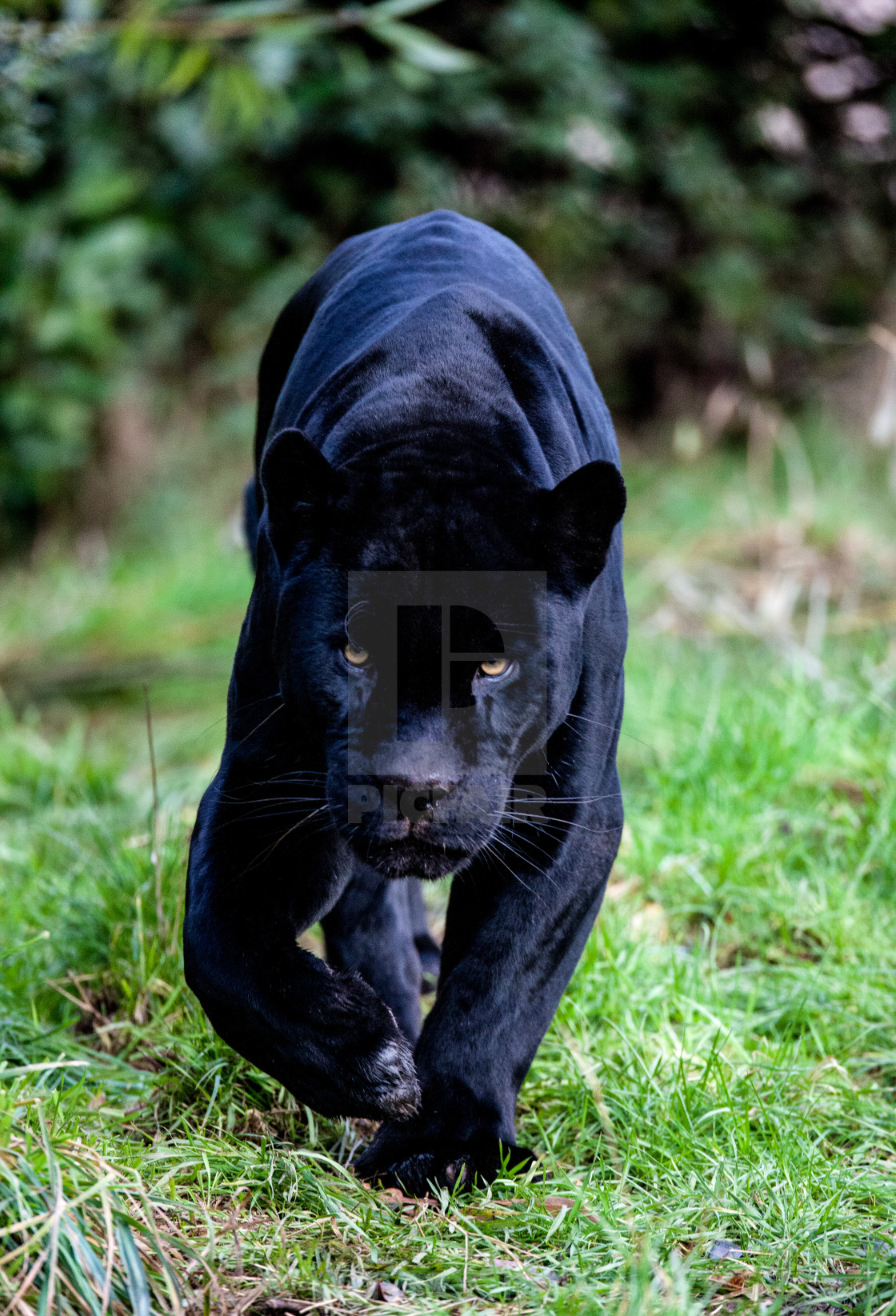 """Black Panther"" stock image"