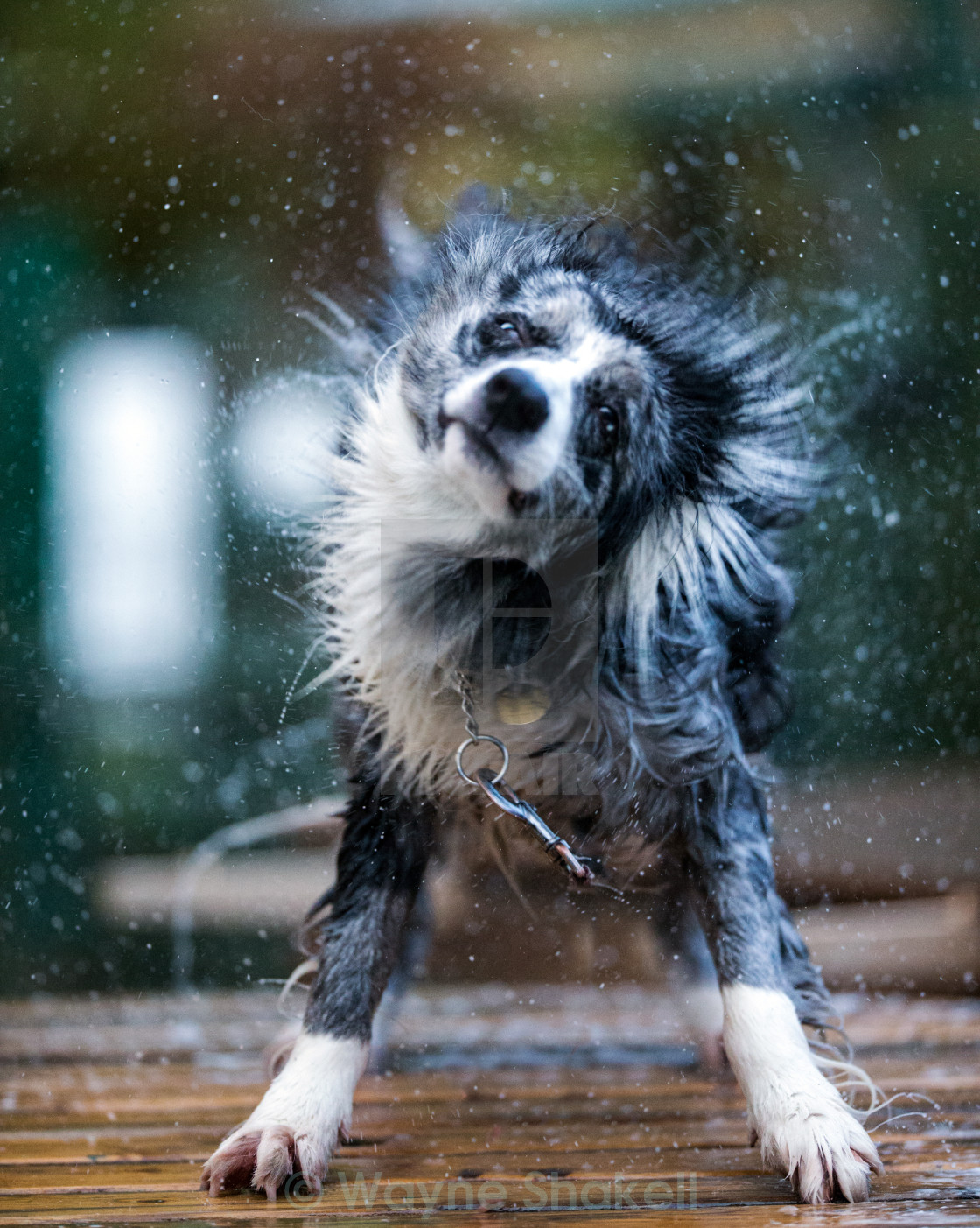 """Wet Dog"" stock image"
