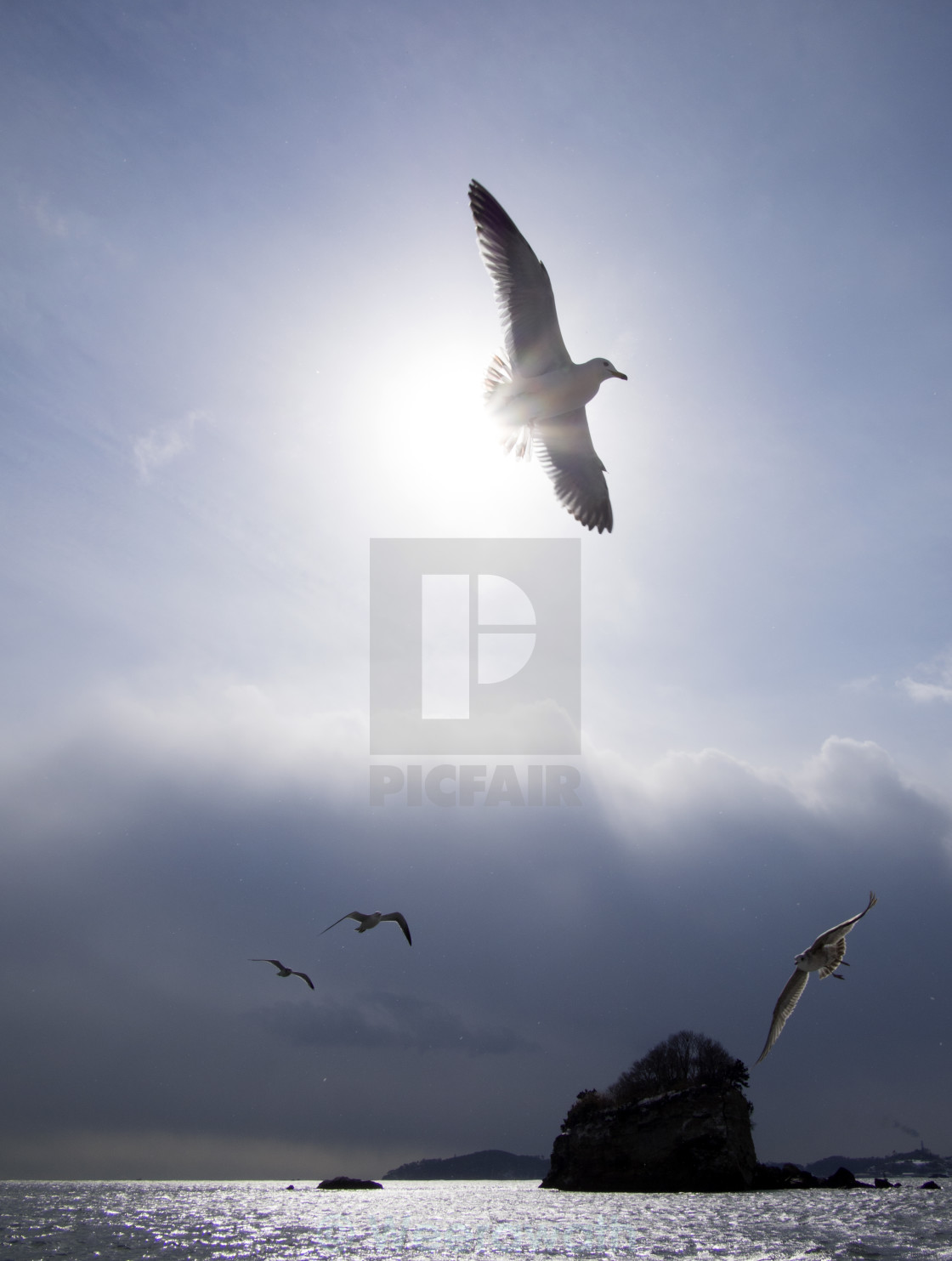 """""""Black Tail Gull and the sun"""" stock image"""